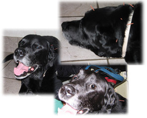 Cyrus is a 12 year old black Labradore Retriever who came in to the hospital with chronic neck pain. After 4 acupuncture treatments he was able to resume normal activity level including longer walks with his owner.